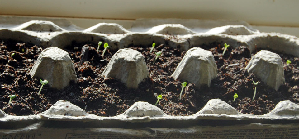 Image of sprouts growing in recycled egg carton